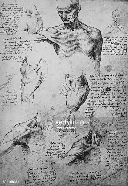 Anatomical Drawings of a Man's Neck and Shoulders' c1480 From The Drawings of Leonardo da Vinci [Reynal Hitchcock New York 1945] Artist Leonardo da...