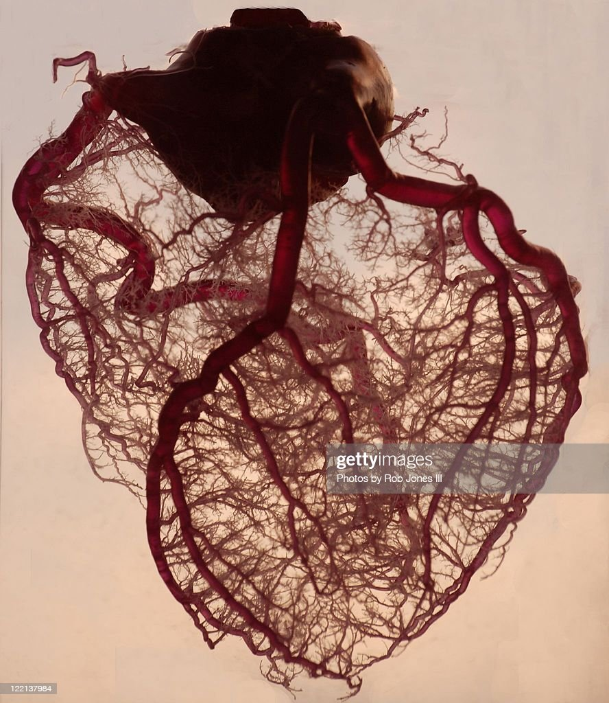 Anatomical Heart : Stock Photo