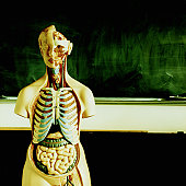 Anatomical model in classroom, chalkboard in background