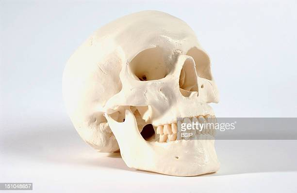 Anatomical Model Of An Adult Human The Head Skeleton Includes The Bones Of The Skull The Face And The Jaw Maxilla And Mandible Including The Teeth