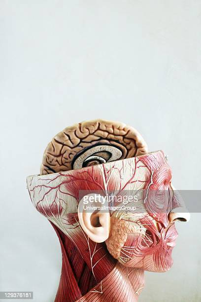 Anatomical model of head top half of head is sliced open Anatomical models are commonly used in the teaching of doctors as they are much clearer and...