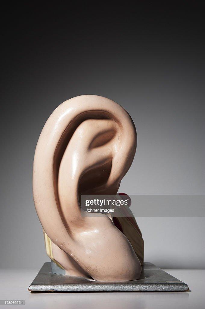 Anatomical model of human ear