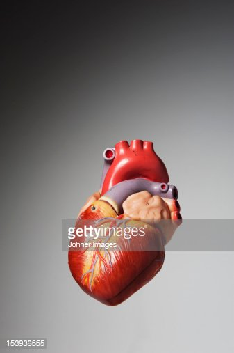 Anatomical model of human heart : Stock Photo