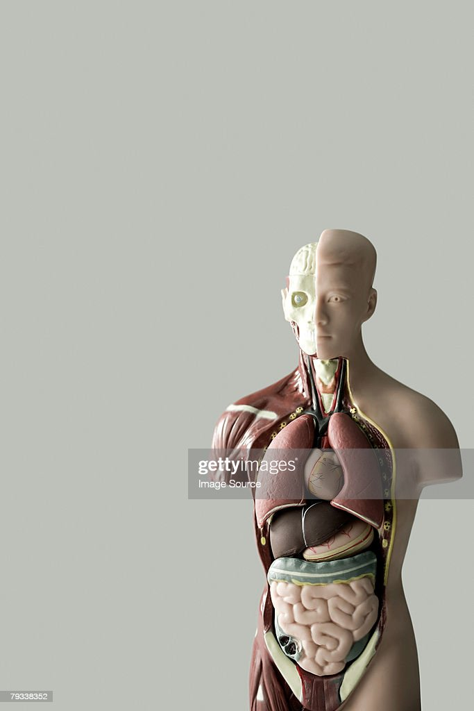 Anatomical model : Stock Photo