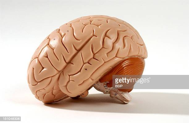 Anatomical Model Showing The Exterior Of The Human Brain Or Encephalon Left Lateral View The Encephalon Is Composed Of The Diencephalon Covered By...