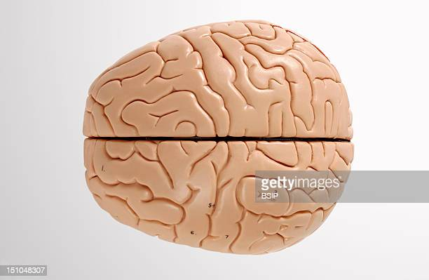 Anatomical Model Showing The Exterior Of The Human Brain Or Encephalon Superior View The Brain Is Divided By The Longitudinal Fissure Into Two...