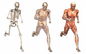 Series of three anatomical 3D renders depicting a man running, viewed from the front at an angle. These images will line up exactly, and can be used as overlays to study anatomy. Included are a skelet