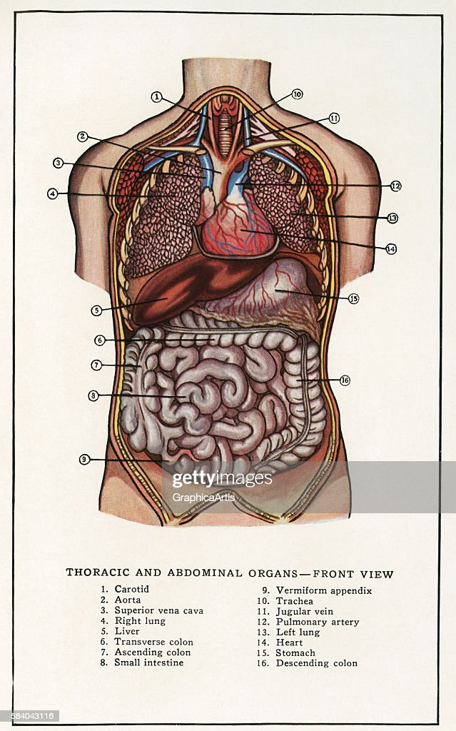 Anatomical print of the human thoracic and abdominal organs 1912 Screen print