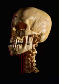 Anatomical skeleton at the head, bones and arteries. Anatomy concept