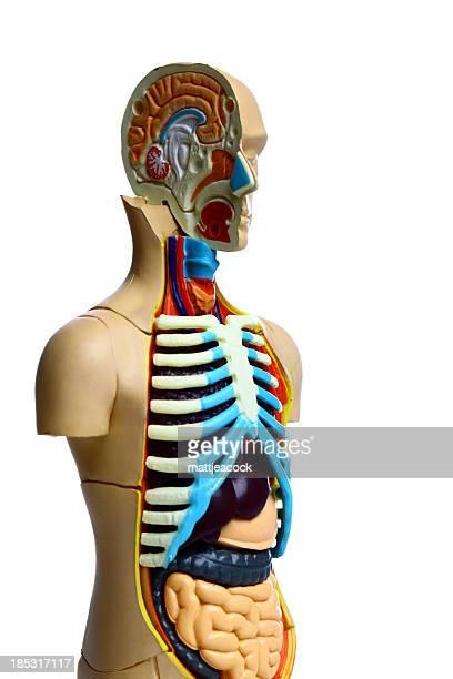 Anatomische Oberkörper