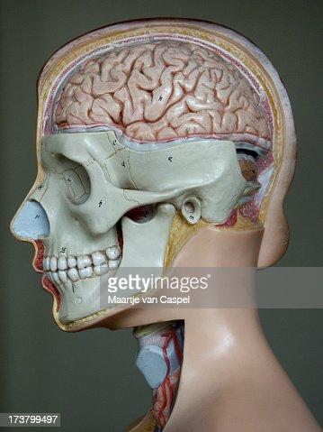 Anatomy Brain 01