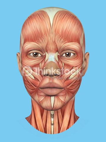 Anatomy Front View Of Major Face Muscles Stock Photo Thinkstock