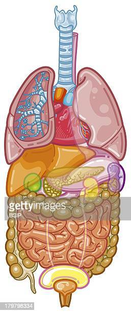 Anatomy Main Organs Of The Human Body