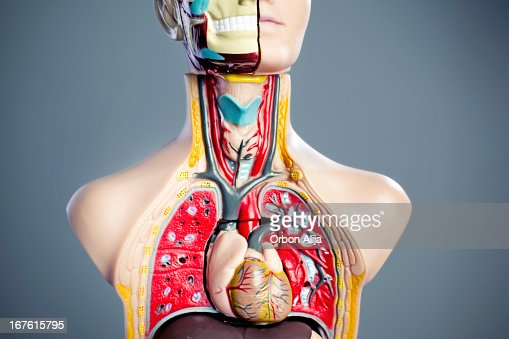 Anatomia de modelo