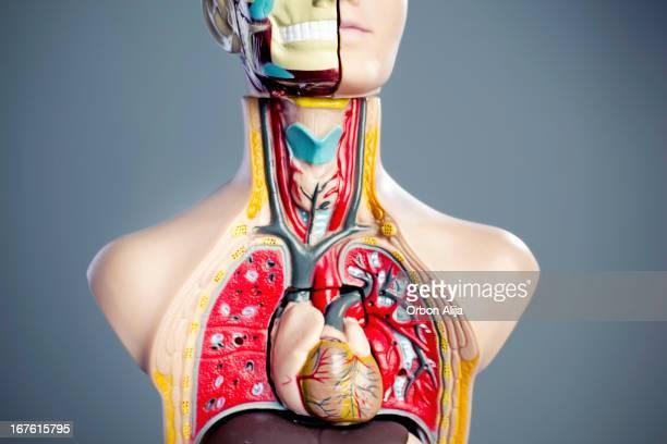 Anatomía de modelo