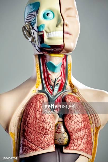 Modello di anatomia