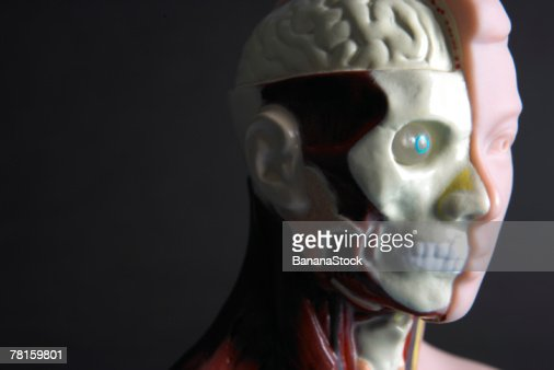 Anatomy model : Stock Photo