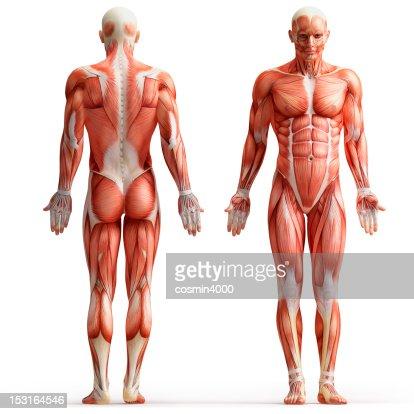 anatomy, muscles : Stock Photo