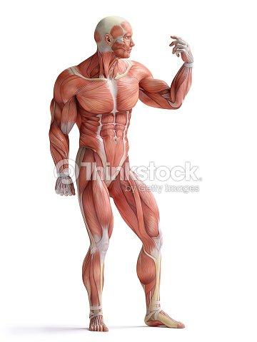 Anatomía Humana De Los Músculos Foto de stock | Thinkstock