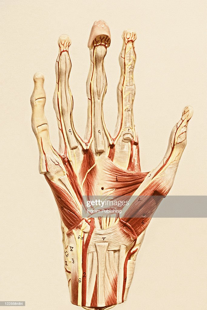 Anatomy Of A Human Hand