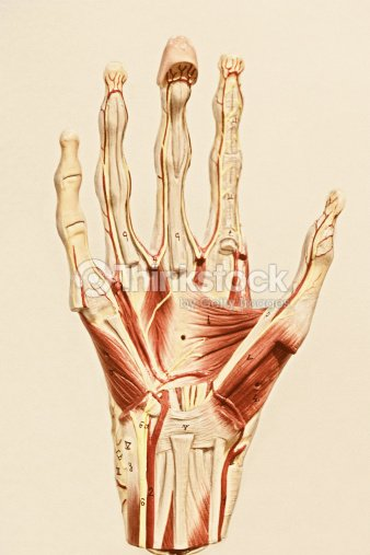 Anatomy Of A Human Hand Stock Photo Thinkstock