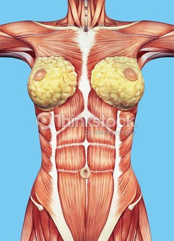 Hembra Anatomía De Tórax Y Torso Foto de stock   Thinkstock