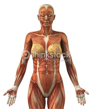 Anatomie Von Frauen Bizeps Muskelsystem Stock-Foto | Thinkstock