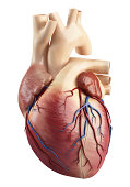 3d art illustration of front view of the Anatomy of heart interior structure