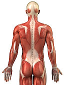 Human back muscles isolated