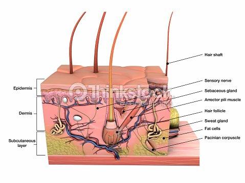 Anatomía De La Piel Humana Cruz Sección Vista En Blanco Foto de ...