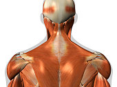 Human anatomy chart of man's neck and back muscles from a posterior view on a white background.