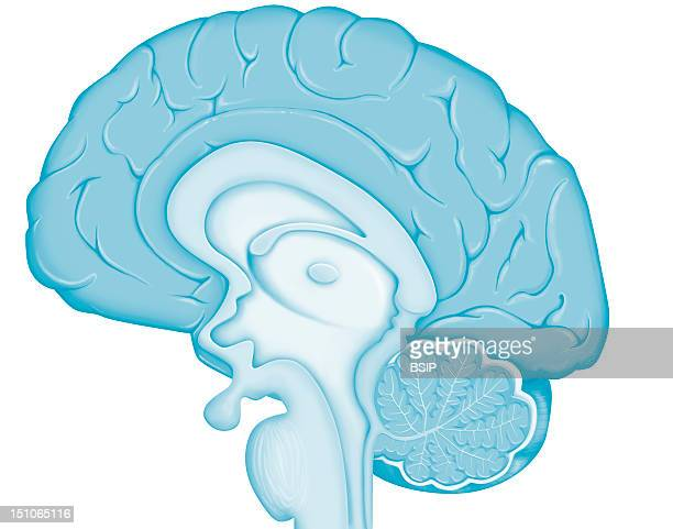 Anatomy Of The Encephalon Median Section This Image Is Part Of A Series On The Brain Anatomy And Pathologies