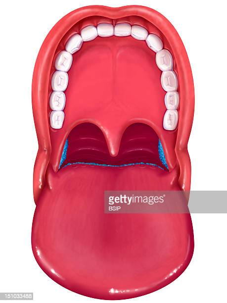 Anatomy Of The Mouth Tongue Teeth Palate Uvula Palatine Tonsils On The Sides In Blue Lingual Tonsils At The Center In Blue