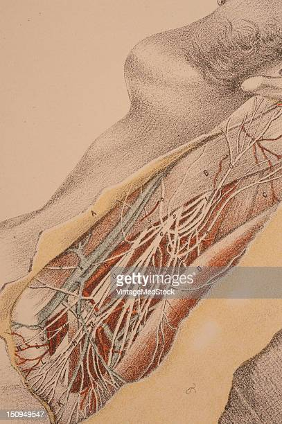 Anatomy of the side of the neck behind the sternomastoid muscle 1882 From 'Illustrations of Dissections in a Series of Original Colored Plates...