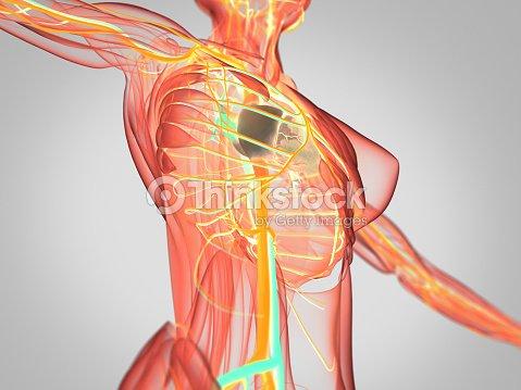 Anatomy Torso Xray View Vascular System Heart 3d Illustration Stock ...