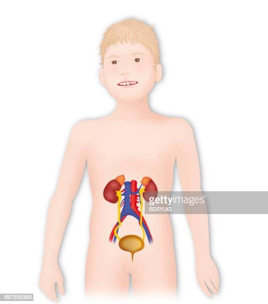 Anatomy, urinary tract