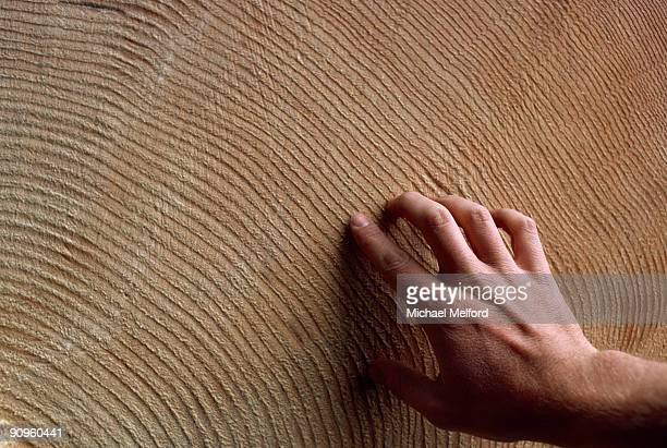 A man's hand traces the rings of an very large, old tree.