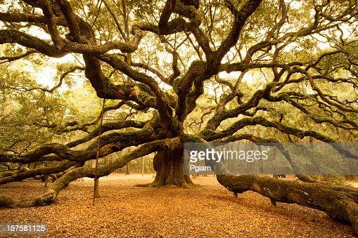 Ancient Angel Oak near Charleston