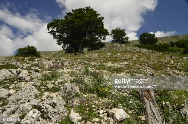 Ancient beech trees on flowery slopes