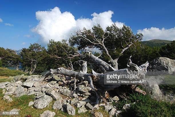 Ancient fallen beech tree