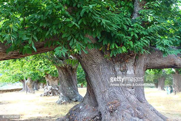 Ancient millenarian chestnut