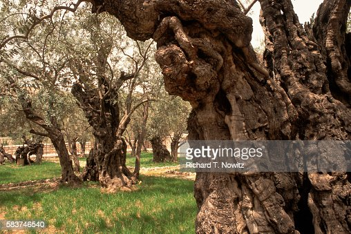 Garden of gethsemane stock photos and pictures getty images for Age olive trees garden gethsemane