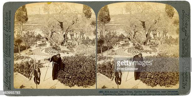Ancient olive trees in the Garden of Gethsemane near Jerusalem Palestine 1905 Stereoscopic slide From a series called Travelling in the Holy Land...