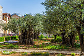 Gethsemane Garde. Eternal Jerusalem. Eight very ancient olives grow in the Garden of Gethsemane. The concept of historical, religious and ethnographic tourism