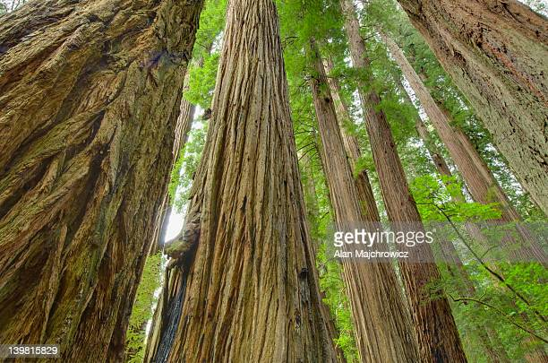 Ancient Redwoods (Sequoia sempervirens) of the Stout Grove in Jedidiah Smith Redwoods State Park, California, USA