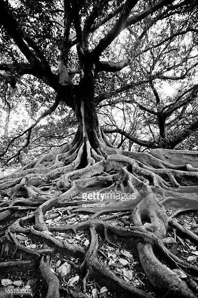 Alten Baum in Buenos Aires