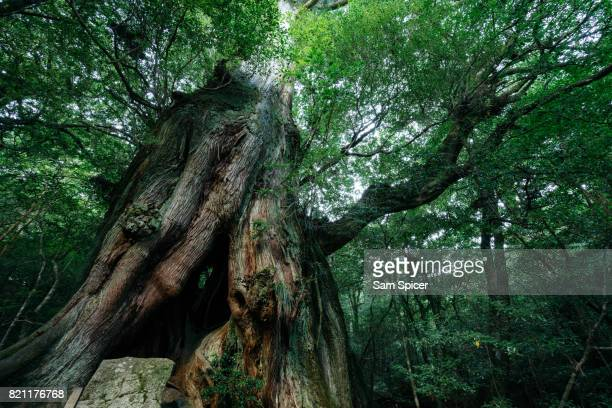 Ancient tree in Rainforest, Yakushima Island, Japan