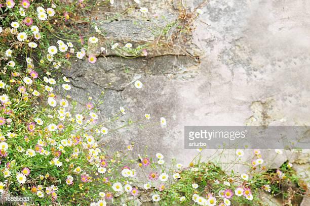 Anciennes encadrées de blanc daisies à Mission de Carmel