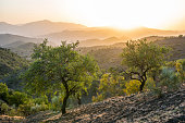 Beautiful Andalusian landscape and olive trees at sunset near Alora, Spain