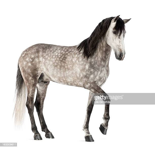 Andalusian with front leg up